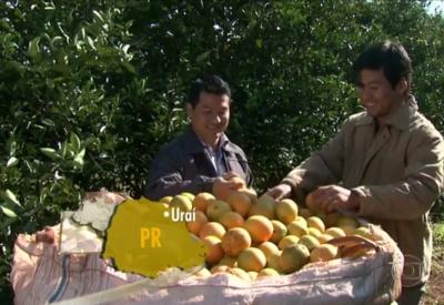 Produtores de laranja começam a colheita no Paraná