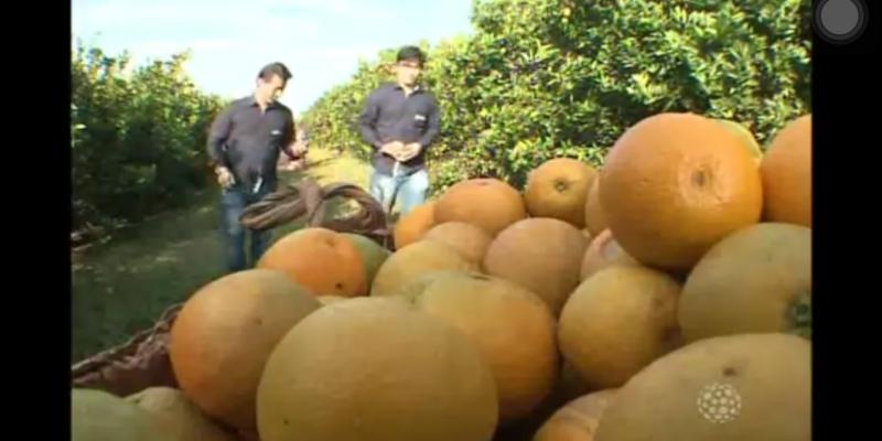 Início da colheita de laranja no Norte do Paraná